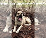 Small Photo #1 Black Mouth Cur-Spanador Mix Puppy For Sale in DUNNELLON, FL, USA