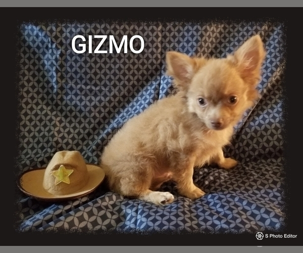 Medium Photo #7 Chihuahua Puppy For Sale in MANSFIELD, TX, USA