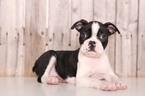 Esther Female Boston Terrier