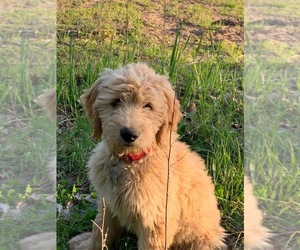Goldendoodle Puppy for sale in OSKALOOSA, IA, USA