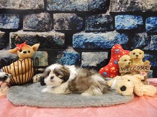 Shih Tzu Puppy For Sale in CHICAGO, IL
