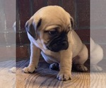 Small Photo #3 Jug Puppy For Sale in ORRVILLE, OH, USA