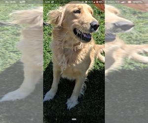 Golden Retriever Puppy for sale in GARWOOD, ID, USA