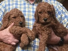 Poodle (Standard) Puppy For Sale in WEST BLOOMFIELD, Michigan,