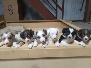Border Collie Puppy For Sale in ITALY, TX, USA