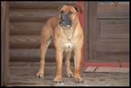 Boerboel Puppy For Sale in CLEARFIELD, UT,