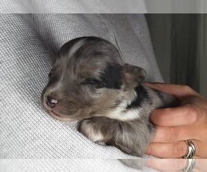 Australian Shepherd Puppy for Sale in COEUR D ALENE, Idaho USA