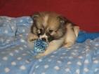 Pomeranian Puppy For Sale in TOONE, TN