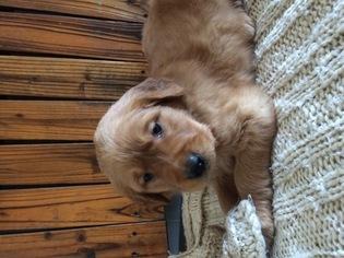 Golden Retriever Puppy For Sale in REIDSVILLE, NC, USA