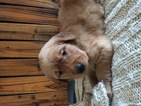 Golden Retriever Puppy For Sale in REIDSVILLE, North Carolina,