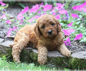 Irish Doodle Puppy for sale in FREDERICKSBG, OH, USA
