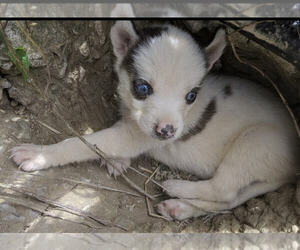 Siberian Husky Puppy for sale in ADAMS COUNTY, OH, USA