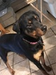 Rottweiler Puppy For Sale in CANTON, GA