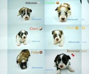 Havanese Puppy for sale in LAS VEGAS, NV, USA
