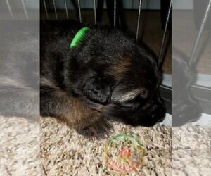 German Shepherd Dog Puppy for Sale in BROOKSVILLE, Florida USA
