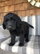 Double Doodle Puppy For Sale in CENTRALIA, IL, USA