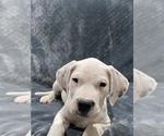 Small #22 Dogo Argentino