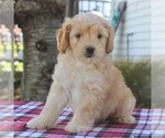 Small Goldendoodle-Poodle (Miniature) Mix