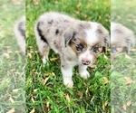 Small #8 Miniature Australian Shepherd