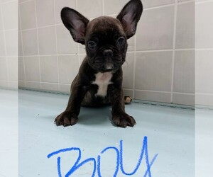 French Bulldog Puppy for Sale in CLARE, Illinois USA