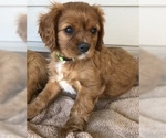 AKC Cavalier King Charles Spaniel Ruby Male