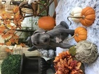Great Dane Puppy For Sale in PLEASANTON, CA, USA