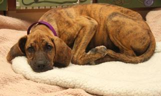 Wendy - Hound / Plott Hound / Mixed (short coat) Dog For Adoption