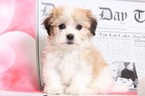 Oscar Attractive Male Havanese Puppy