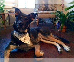German Shepherd Dog-Labrador Retriever Mix Dog for Adoption in BERRY HILL, Tennessee USA
