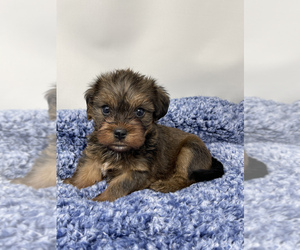 Morkie Puppy for sale in HADDAM, CT, USA