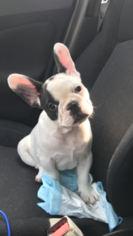 French Bulldog Puppy For Sale in EAST HAVEN, CT