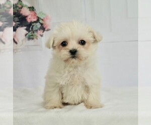 Morkie-Yorkshire Terrier Mix Puppy for Sale in WARSAW, Indiana USA