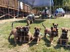 Belgian Malinois Puppy For Sale in MIRANDA, CA, USA
