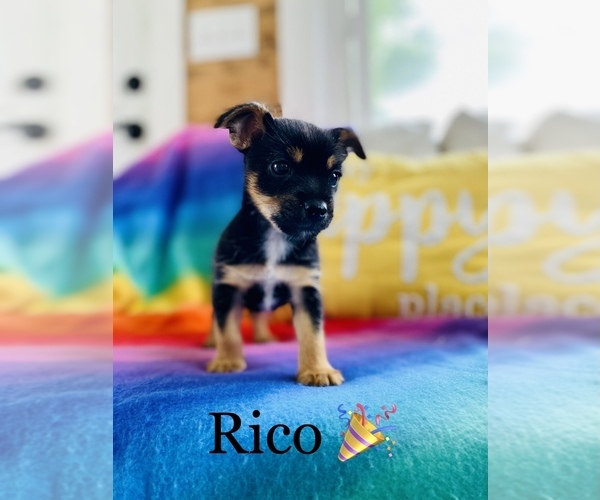 Medium Photo #1 Chorkie Puppy For Sale in COOKEVILLE, TN, USA