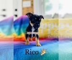 Small Photo #1 Chorkie Puppy For Sale in COOKEVILLE, TN, USA