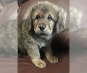 Tibetan Mastiff Puppy for sale in LANCASTER, SC, USA
