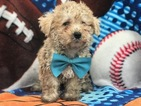 View Ad Maltipoo Puppy For Sale Near Pennsylvania East Earl Usa Adn 47324