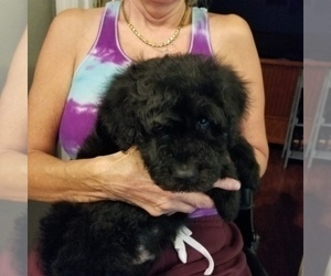 Bouvier Des Flandres-Poodle (Standard) Mix Puppy for Sale in LAKELAND, Florida USA