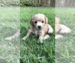Puppy 3 Cock-A-Poo