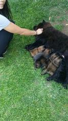 Chow Chow Puppy for sale in BAKERSFIELD, CA, USA