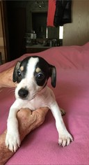 Jack Russell Terrier Puppy for sale in TUCSON, AZ, USA