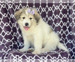 Small #7 Great Pyrenees