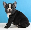 French Bulldog Puppy For Sale in DAVIDSON, NC, USA