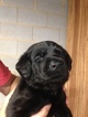 Labrador Retriever Puppy For Sale in STATESVILLE, NC