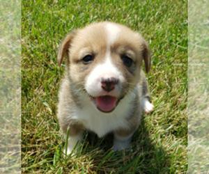 Pembroke Welsh Corgi Puppy for Sale in KINGSVILLE, Missouri USA