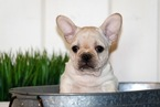 French Bulldog Puppy For Sale in LAS VEGAS, Nevada,