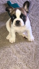 French Bulldog Puppy For Sale in LOUISVILLE, KY, USA