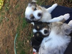 Miniature Australian Shepherd Puppy For Sale in WHITE SALMON, WA, USA