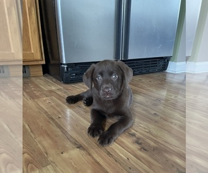 Labrador Retriever Puppy for sale in BROGUEVILLE, PA, USA