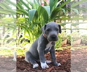 Great Dane Puppy for Sale in OKLAHOMA CITY, Oklahoma USA